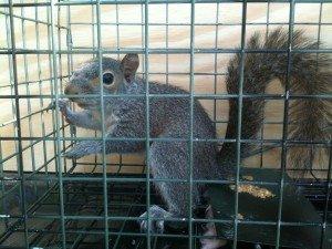 alpharetta squirrel trapping