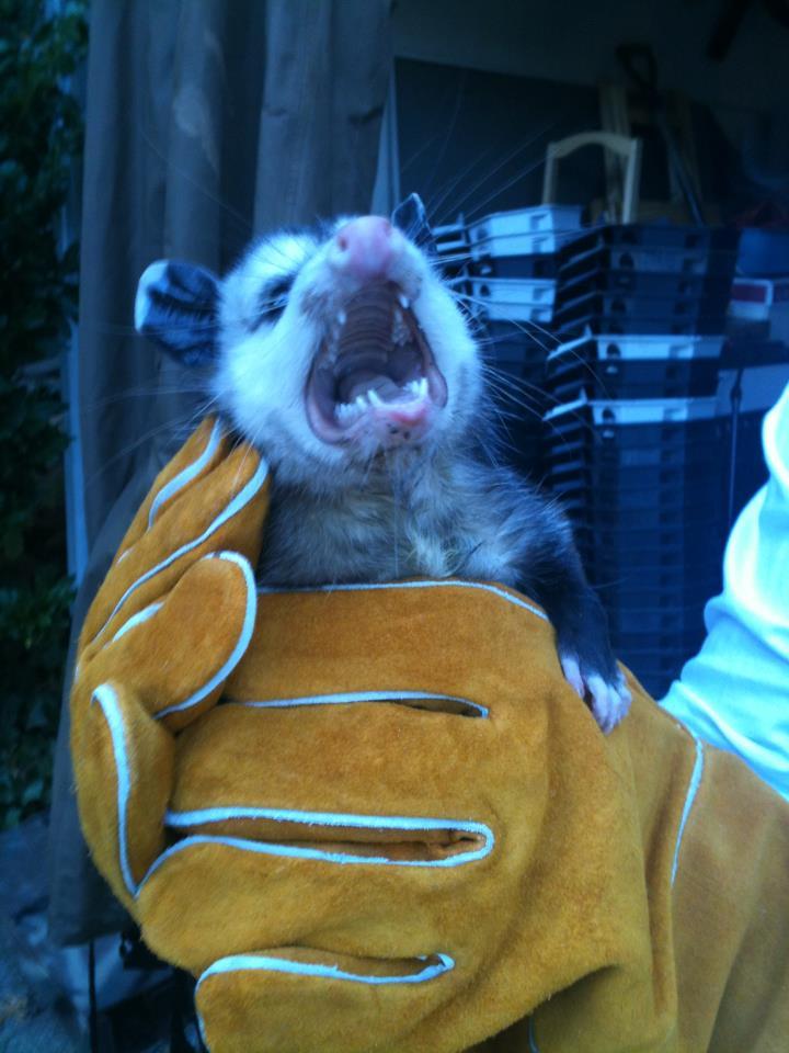 Smelly Ugly Nasty Opossums Living Under My Deck Possum