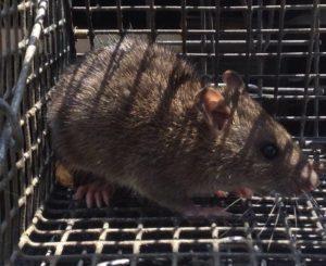 alpharetta rat trapping