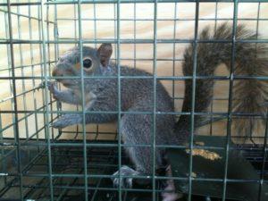 crabapple squirrel
