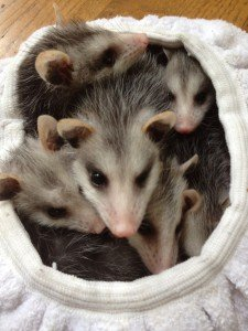 Baby Possums Removed from crawlspace