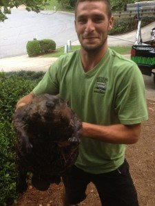 Beaver Trapped in Johns Creek
