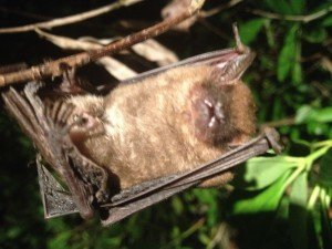 Bat Released from Johns Creek Home