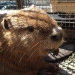 Beaver Trapped in Alpharetta