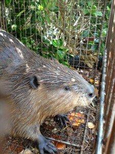 Beaver Trapped in Cumming Georgia