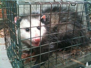 Nuisance Wildlife Trapping and Removal - Possum trapping in North Georgia