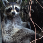 Marietta Raccoon Trapped with Baby
