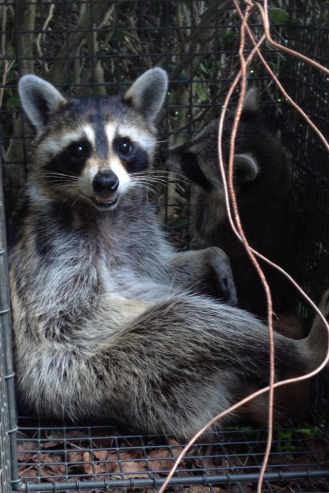Raccoon Trapping Raccoon Removal Johns Creek