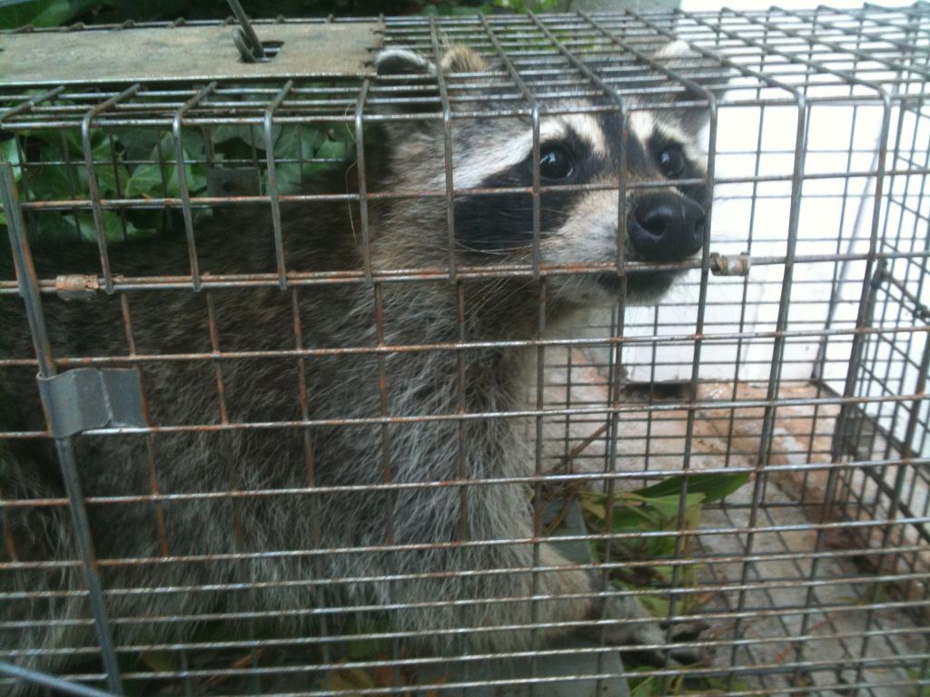 Raccoon and other Nuisance Wildlife trapping and removal program.
