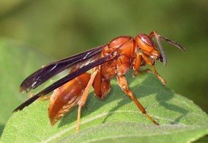 A picture of a Red Wasp