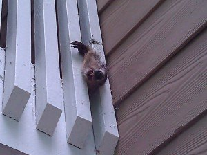 Woodchuck stuck in balcony railing in Buckhead