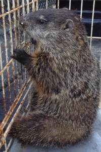 Woodchuck Trapped in Horse Pasture in Canton
