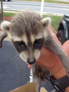 Duluth GA Raccoon Removal