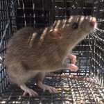 Rat Trapping Alpharetta