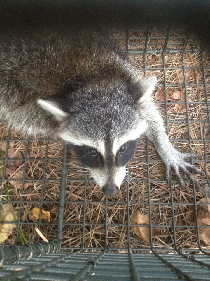 atlanta ga raccoon trapping