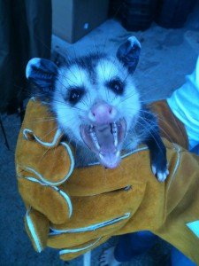 A young possum removed from Big Canoe GA