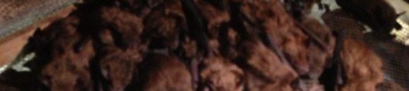Bat Colony in attic