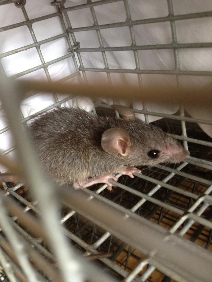 rat trapping in johns creek