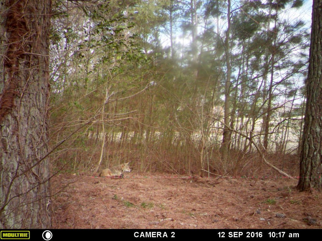 coyote trapper johns creek