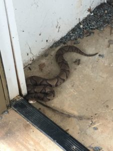 copperhead snake removal