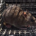 alpharetta rat trapping