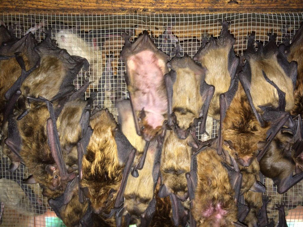 Bats in Attic - Bat Removal