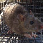 rat trapping marietta