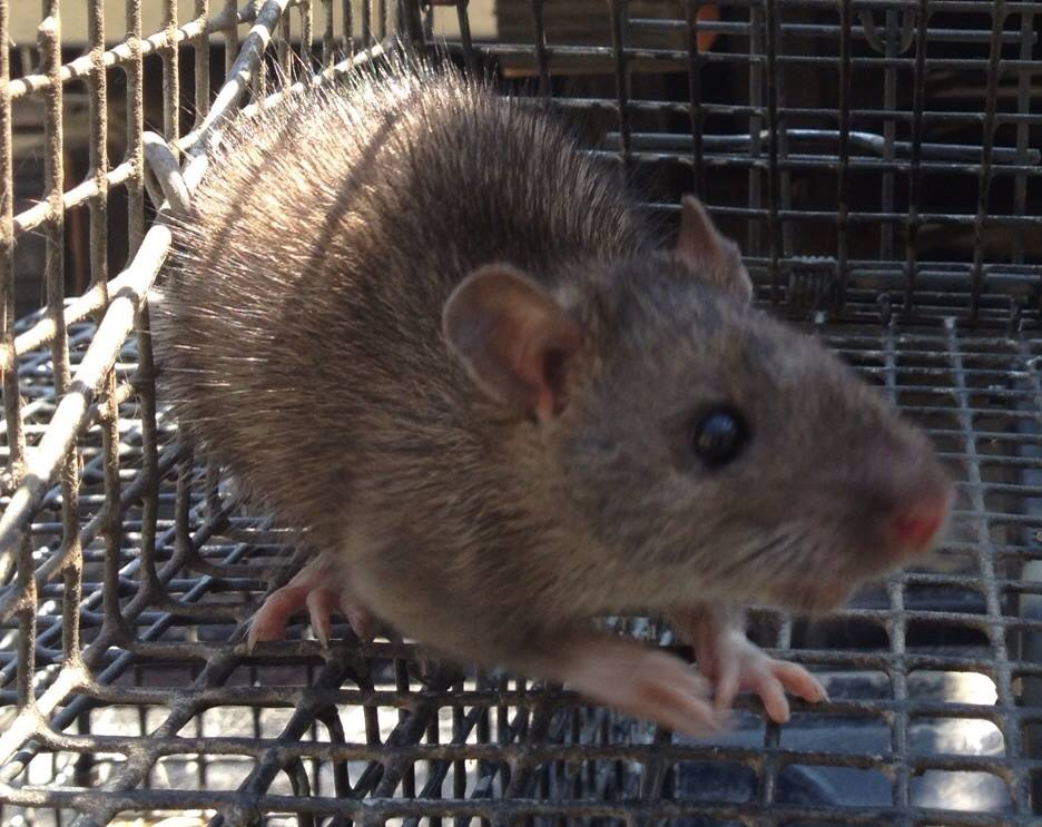 Rat and Nuisance Wildlife Trapping in North Georgia