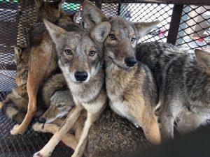 coyotes`