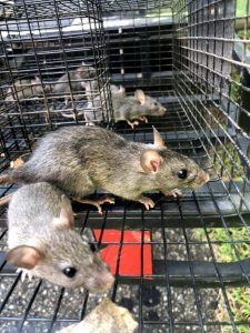 rats trapped